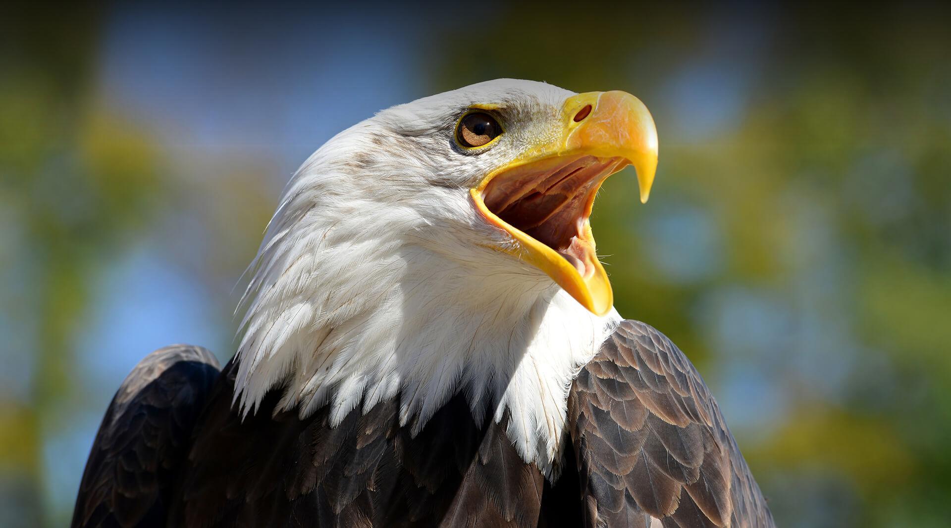 Bald Eagle   San Diego Zoo Safari Park