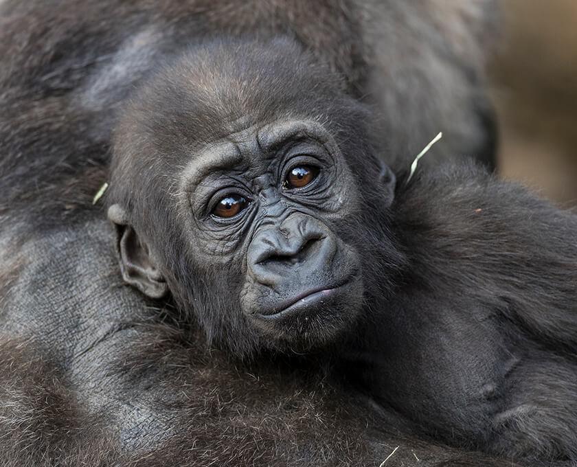 Gorilla | San Diego Zoo Safari Park